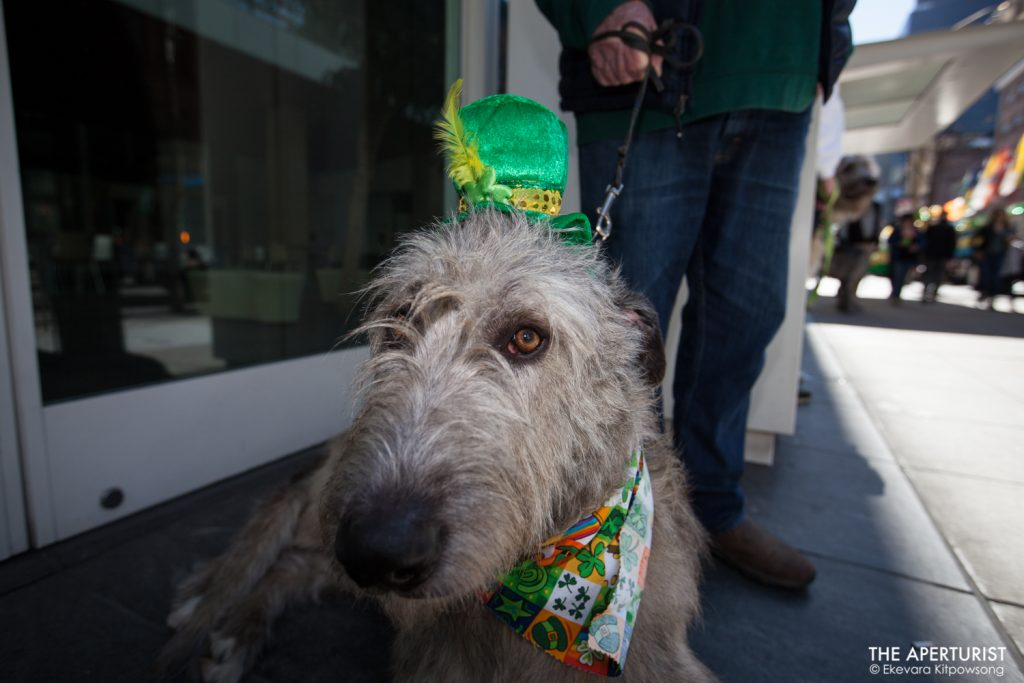 "Ken Gabriel and his Irish Wolfhound ""Quincy"" wait for the start of the St. Patrick's Day Parade on Saturday, March 16, 2019, in San Francisco, Calif. (Photo by Ekevara Kitpowsong/Current SF)"